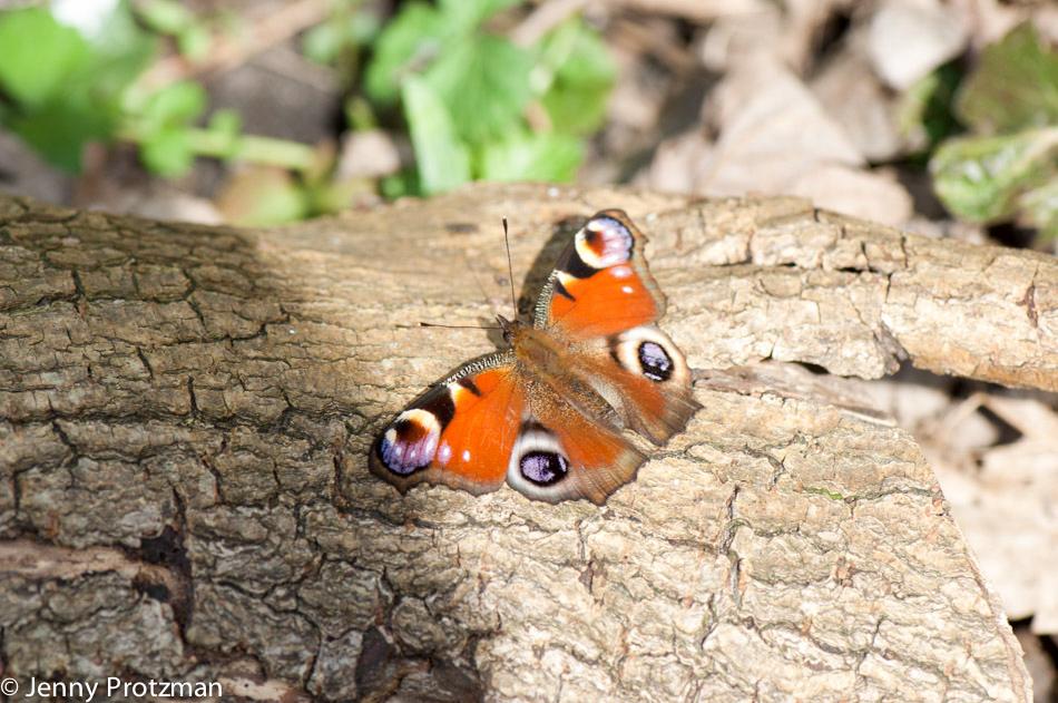 web-950-vlinder-tuin20110404-_DSC0042